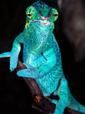 Nosy Be Blue Phase Panther Chameleon  Native to Madagascar