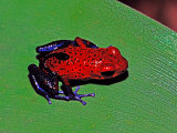 Strawberry Poison Dart Frog in a Rainforest  Costa Rica