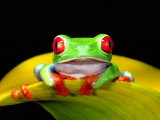 Red Eye Tree Frog  Native to Central America