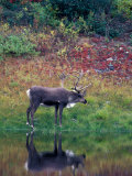 Caribou in Denali National Park  Alaska Range  Alaska  USA