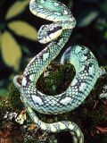 Sri Lankan Palm Viper  Native to Sri Lanka