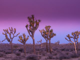 Joshua Trees at Sunrise  Mojave Desert  Joshua Tree National Monument  California  USA