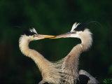 Great Blue Heron Pair  Venice  Florida  USA