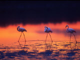 Greater Flamingo  Tanzania