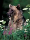 Grizzly or Brown Bear  Glacier National Park  Montana  USA