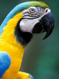 Blue and Yellow Macaw  Iguacu National Park  Brazil