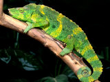 Meller's Chameleon  Native to Tanzania