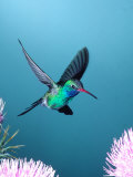 Broad-billed Hummingbird  Arizona  USA