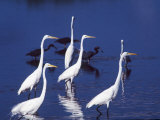 Six Great Egrets Fishing with Tri-colored Herons  Ding Darling NWR  Sanibel Island  Florida  USA