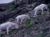 Mountain Goat  Glacier National Park  Montana  USA
