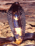 Black Pakistan Cobra  Native to Pakistan