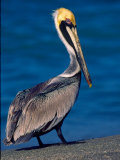 Male Brown Pelican in Breeding Plumage  Sanibel Island  Florida  USA