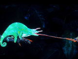 Three-horned Chameleon Capturing a Cricket  Native to Camerouns