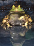 American Bullfrog  Native to USA