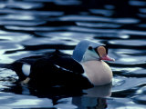 King Eider Duck  Beaufort Lagoon  Alaska  USA