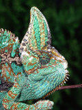 Veiled Chameleon, Native to Yemen Papier Photo par David Northcott