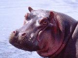 Large Hippo Portrait  Tanzania