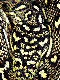 Diamond Python Close-up  Native to Australia