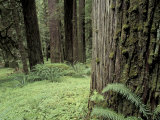 Old Growth Forest  Quinault River Valley  Olympic National Park  Washington  USA