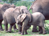 Young African Elephants Wrestling  Tanzania