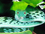 Long-nose Vine Snake  Native to SE Asia