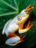Metallic Reed Frog  Native to Madagascar