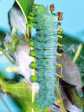Cercropia Moth Caterpillar  Eastern USA