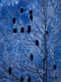 Bald Eagle Roosting in Cottonwoods  Chilkat River  Alaska  USA