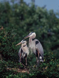 Great Blue Herons in Breeding Plumage at Their Nest  Florida