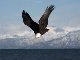 Bald Eagle Diving  Homer  Alaska  USA