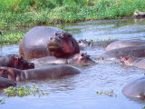 Group of Hippos in a Small Water Hole  Tanzania