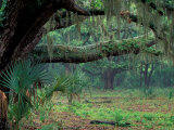 Live Oaks Covered in Spanish Moss and Ferns  Cumberland Island  Georgia  USA