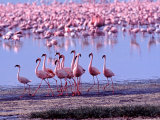 Lesser Flamingo and Eleven Males in Mating Ritual  Lake Nakuru  Kenya