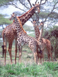 Giraffe Group or Herd with Young  Tanzania