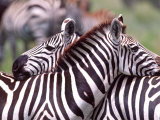 Zebras at Rest  Tanzania