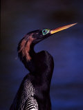 Anhinga  Snake Bird in Breeding Plumage  Everglades National Park  Florida  USA