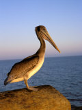 Pelican at Sunset  Sterns Wharf  Santa Barbara  California  USA