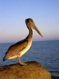 Pelican at Sunset  Sterns Wharf  Santa Barbara  California  USA