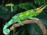 Jackson's Chameleon  Native to Eastern Africa