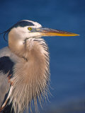 Great Blue Heron  Sanibel Island  Florida  USA