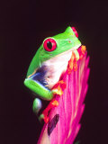 Red Eye Tree Frog on a Bromeliad  Native to Central America