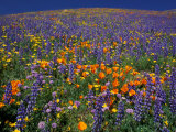 Poppies and Lupine  Los Angeles County  California  USA