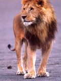 Male Lion on Dry Lake Bed  Tanzania