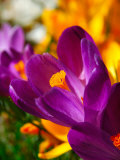 Crocus  Reading  Massachusetts  USA