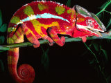Red Phase Panther Chameleon  Native to Madagascar
