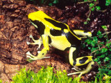 Dyeing Poison Frog  Surinam  Native to Guyana