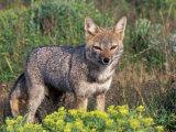 Argentine Grey Fox  Torres del Paine National Park  Chile
