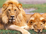 Pair of African Lions  Tanzania