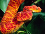 African Bush Viper