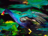 Purple Gallinule Foraging  Everglades National Park  Florida  USA